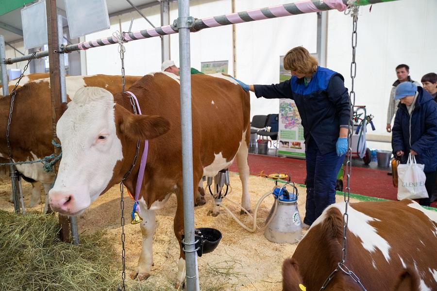 Такая корова нужна самому: на что обращать внимание при покупке животного