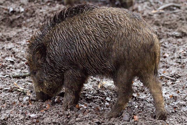 Новый очаг африканской чумы свиней обнаружен в Приморье