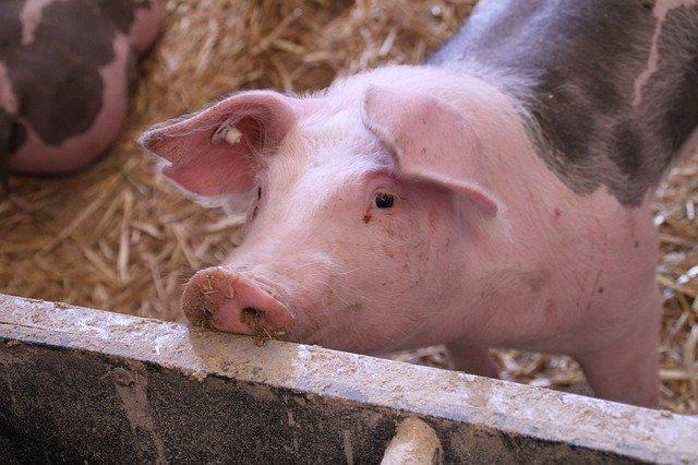В Бразилии запретили три стимулятора роста в свиноводстве
