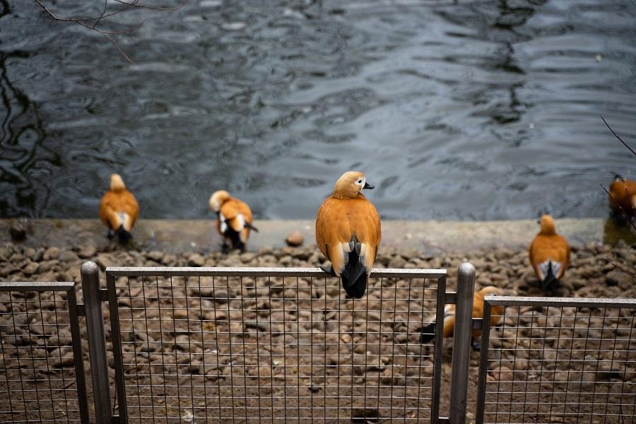 Зоологи отмечают аномальное поведение птиц