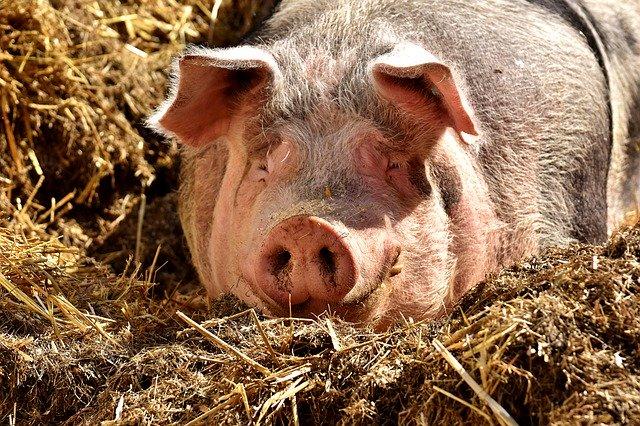 Новые очаги африканской чумы свиней появились в Европе