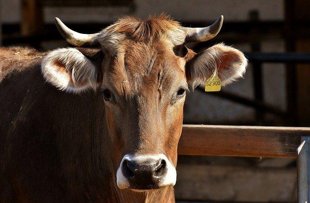 В Амурской области сообщили о случаях отказа от вакцинации против ящура