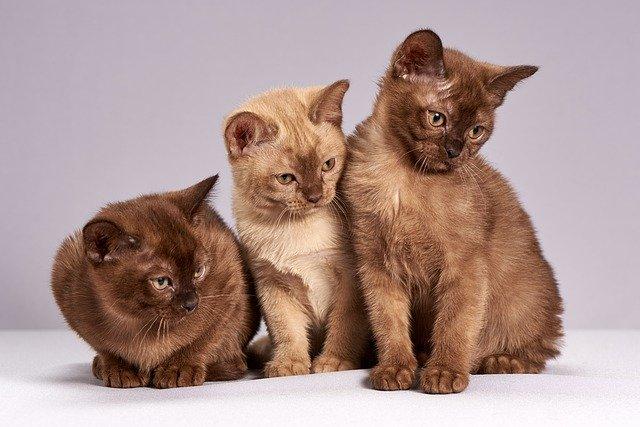 Агрессивность кошек связана с их окрасом