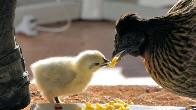Канадские ученые: стрессоустойчивость кур зависит от генов