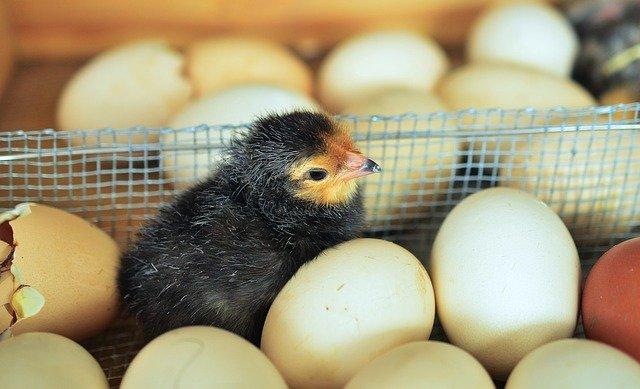 Бразилия внедряет блокчейн-технологии в птицеводство