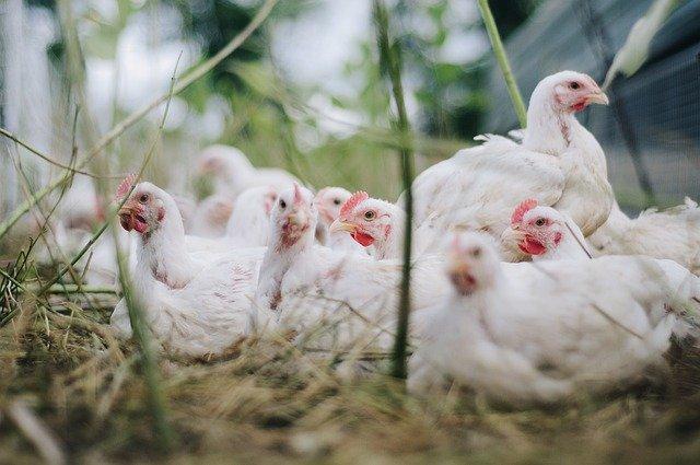 Ученые предлагают птицеводам заменить антибиотик бетулином