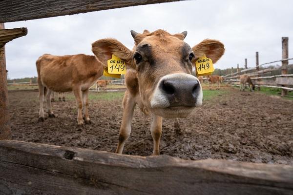 Количество застрахованных сельхозживотных выросло на 84%