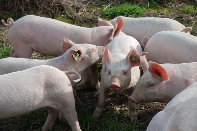 Дыры в биозащите: почему не соблюдаются ветправила по предупреждению африканской чумы свиней