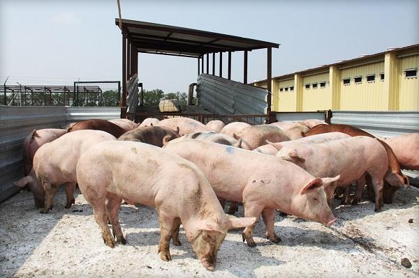 В России вырос спрос на свиные шкуры