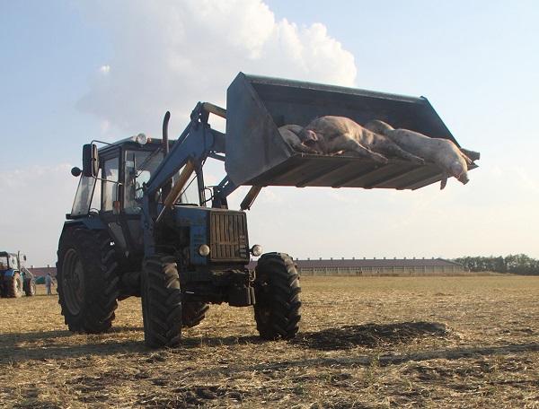 Фермерам США выплатят компенсации за убой свиней и птиц из-за пандемии