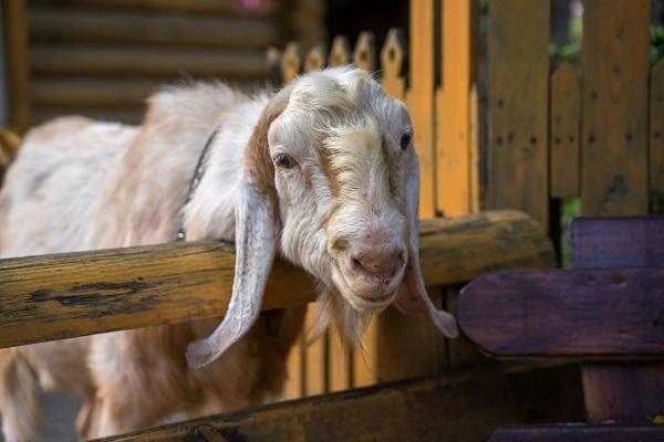В России утвердили новые ветправила по скрепи овец и коз