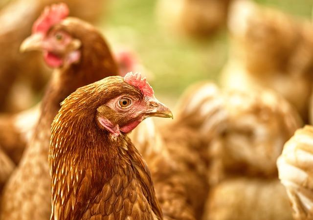 Великобритания объявлена страной свободной от птичьего гриппа