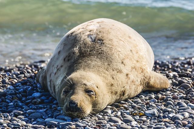 Тюлени рискуют остаться без еды из-за изменения климата