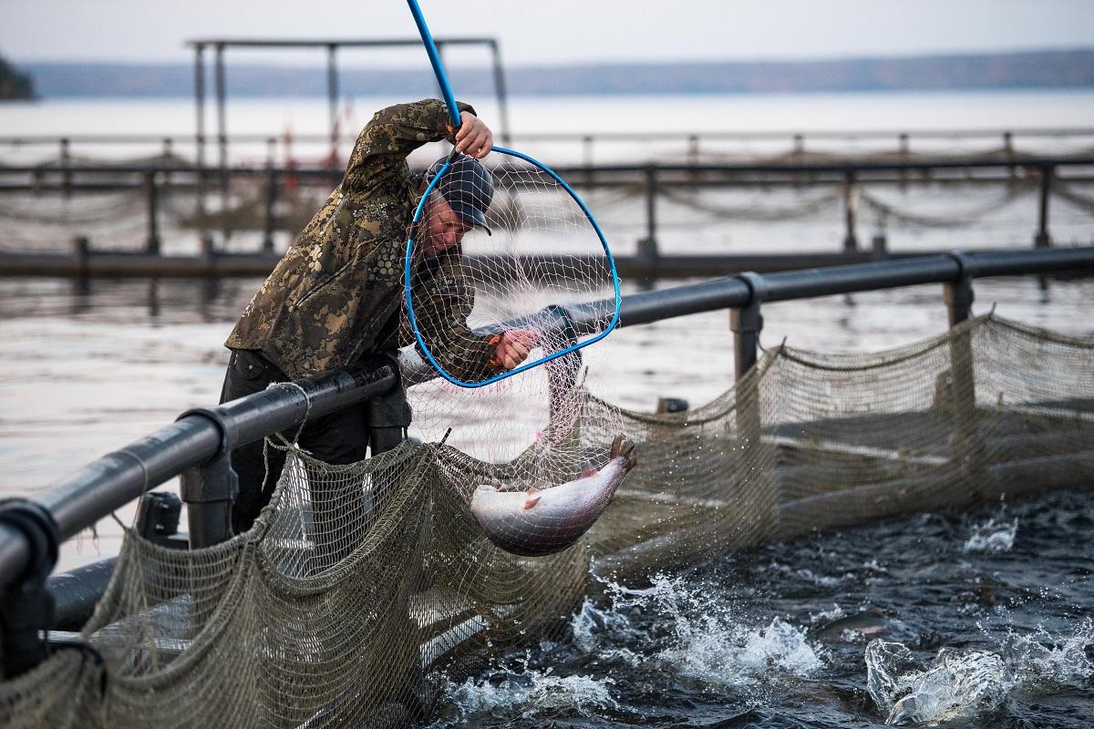 В Норвегии установят ограждения на аквафермах для спасения дикого лосося