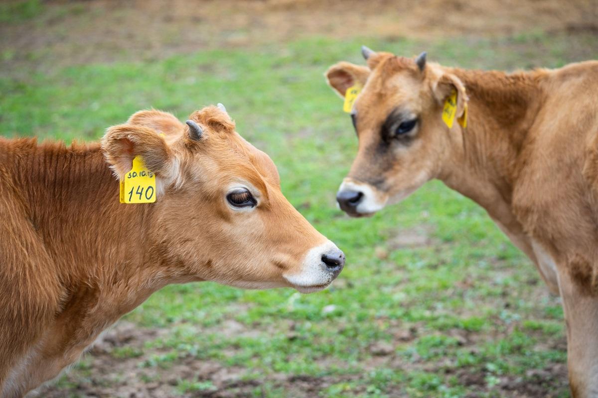 Иорданию открыли на поставки скота из России