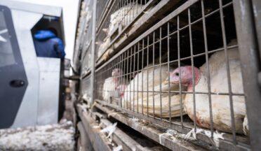 Россельхознадзор прогнозирует занос гриппа птиц на птицефабрики Курганской области