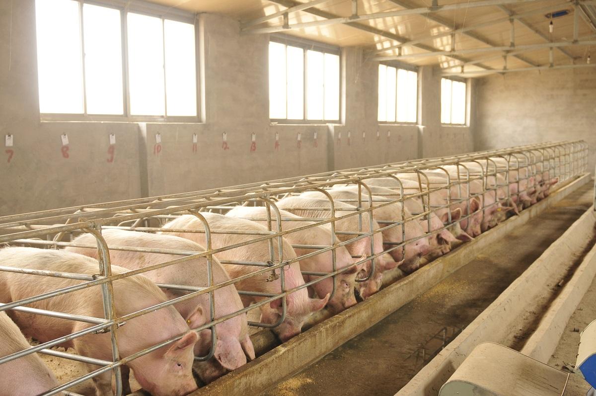 В Приморье запустили крупнейший на Дальнем Востоке завод по переработке свинины