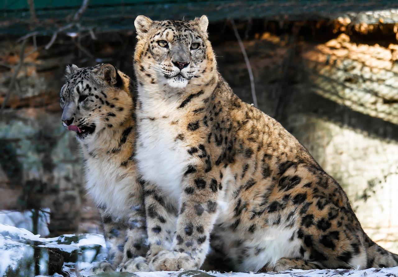 Экологи обнаружили на Алтае самую пожилую пару снежных барсов в мире