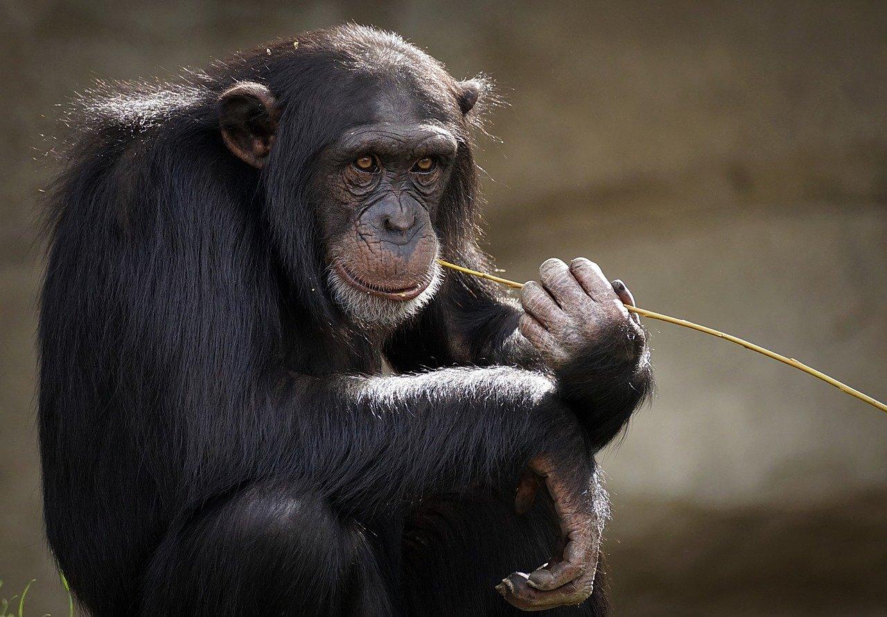 В Таллинском зоопарке шимпанзе вакцинируют от COVID-19