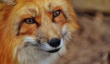 В Великобритании тюлени и лиса заразились птичьим гриппом от лебедей