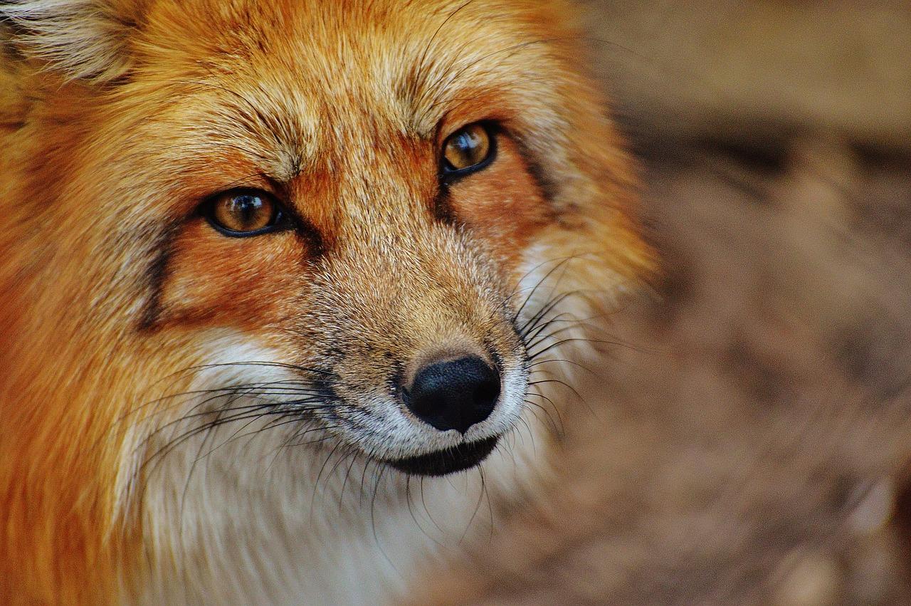Верховный суд РФ запретил держать дома лис