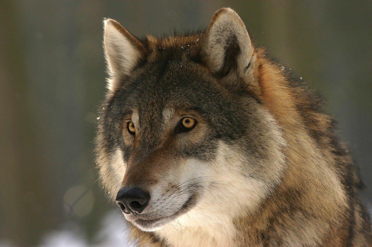 Исследование: волки могут помочь в борьбе с АЧС